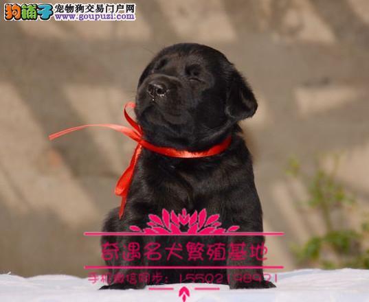 0.出售纯种的聪明的拉布拉多幼犬品相好头版好 健康