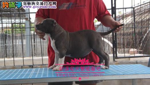 纯种美系进口比特犬专业繁殖出售大骨量大头版幼犬¥