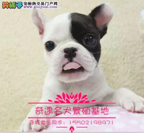 犬舍出售中型犬 纯种法牛英牛柯基巴哥雪纳瑞#