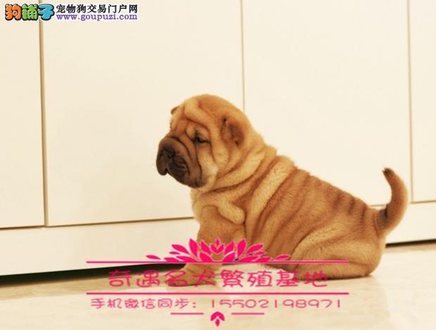 活泼可爱纯种纯种温顺憨厚沙皮幼犬公母都有保健康 ¥