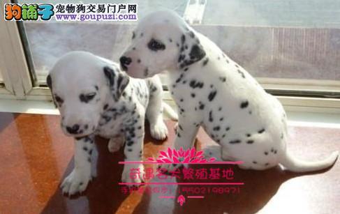 正规养殖基地出售高品质大麦町幼犬健康质保签署协议¥