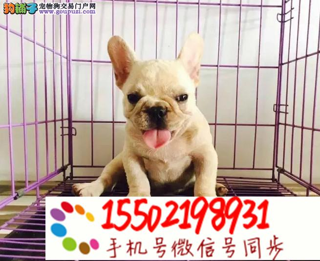 犬舍出售 法国斗牛犬幼犬 纯种 视频挑选%