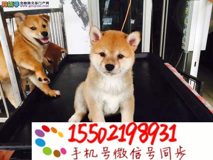 热销纯种日本进口双血统柴犬专业繁殖纯正
