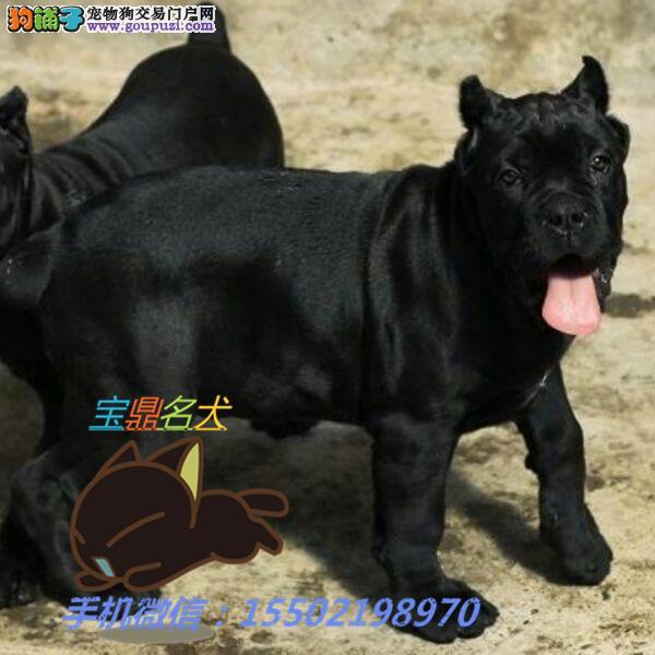 名犬基地出售 精品纯 杜高犬