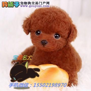 名犬基地出售 纯种精品贵宾犬