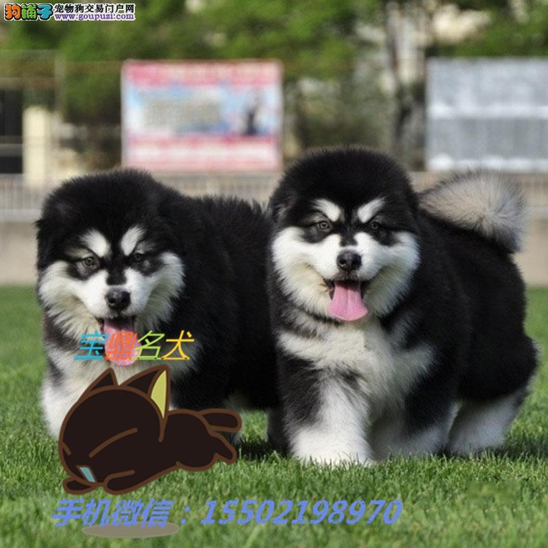 名犬基地出售 精品纯种阿拉斯加