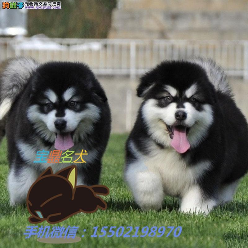 名犬基地出售 纯种精品阿拉斯加