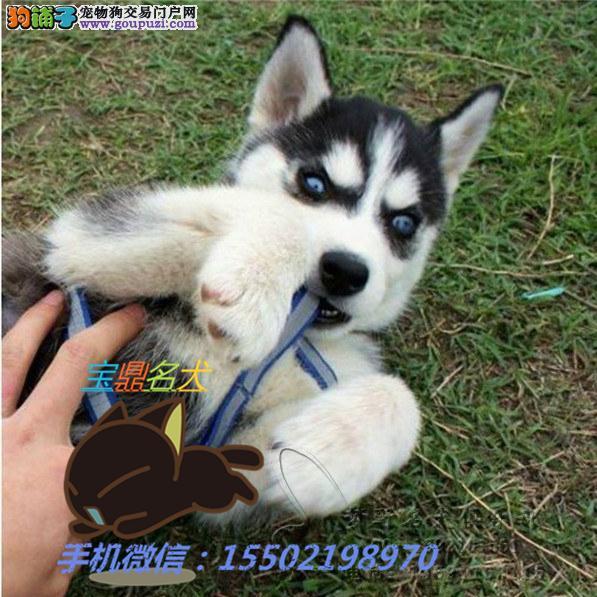 名犬基地出售 纯种精品三火双蓝眼 哈士奇