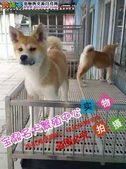 名犬基地出售 精品纯种 日本秋田