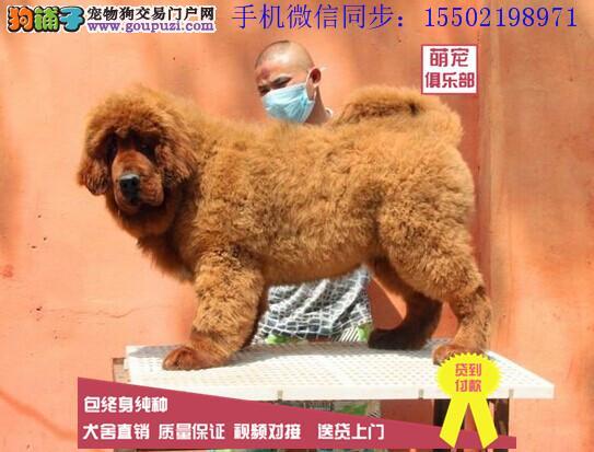 大狮头长毛纯种聪明藏獒高品质标准牛系保纯保健康?