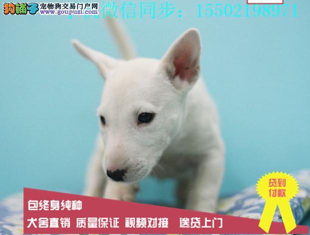 超强血统纯种牛头梗实物图片纯国外血系贵族名犬繁育?