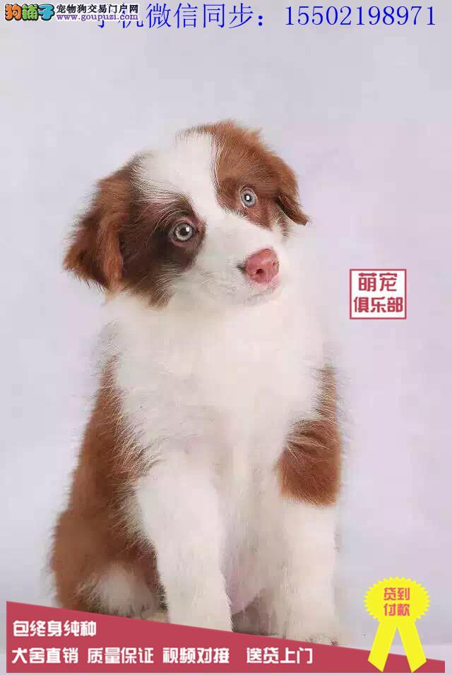 犬舍火爆热销纯种边境柴犬哈士奇法牛英牛等名贵犬?
