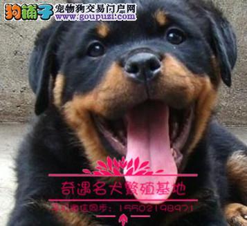 纯种猛犬罗威纳幼犬出售大头宽嘴吧公母可选疫苗齐&