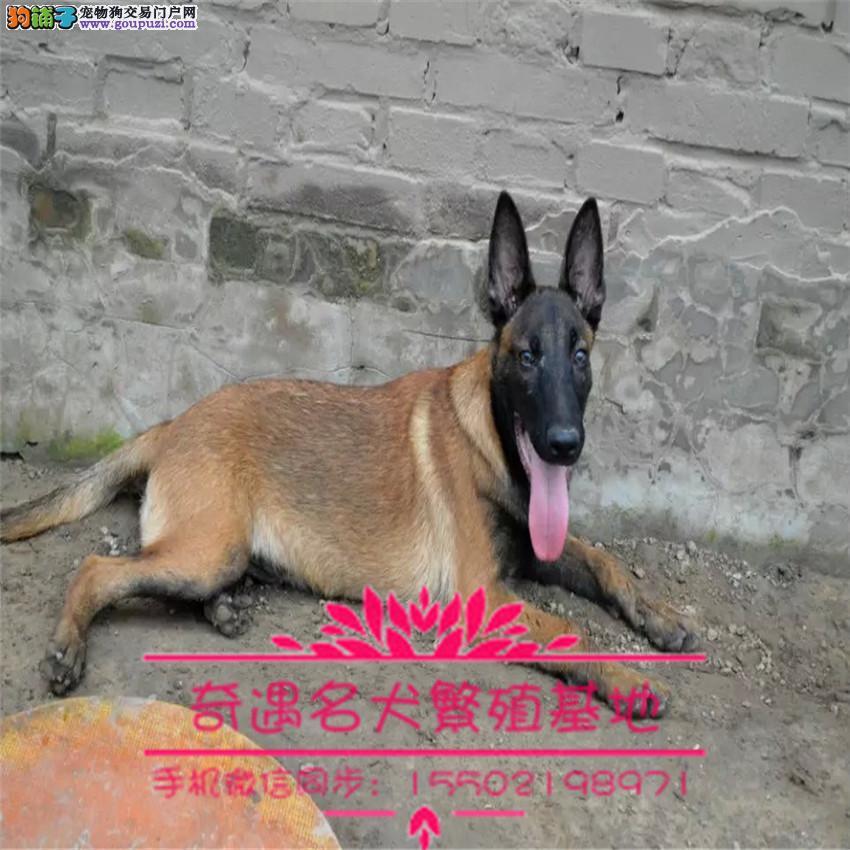 出售纯种比利时纯种马犬兴奋度高警觉性强动作灵敏&