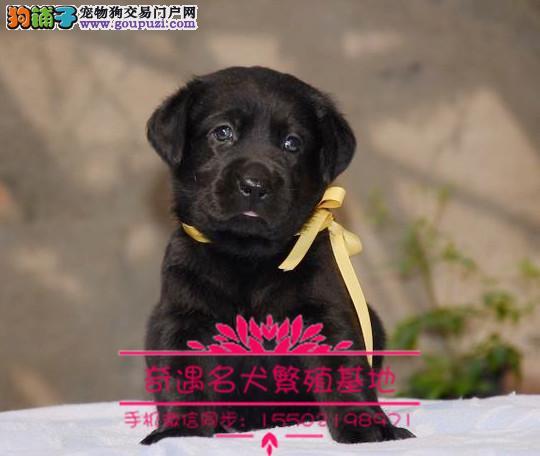 出售纯种聪明可爱拉布拉多幼犬品相好头版好健康%
