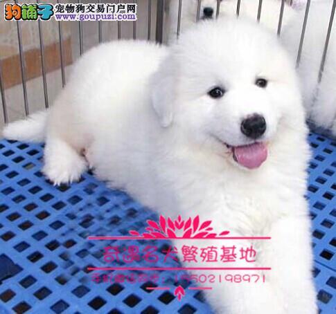纯血纯种超大骨赛级双冠大白熊幼犬出售健康签质&