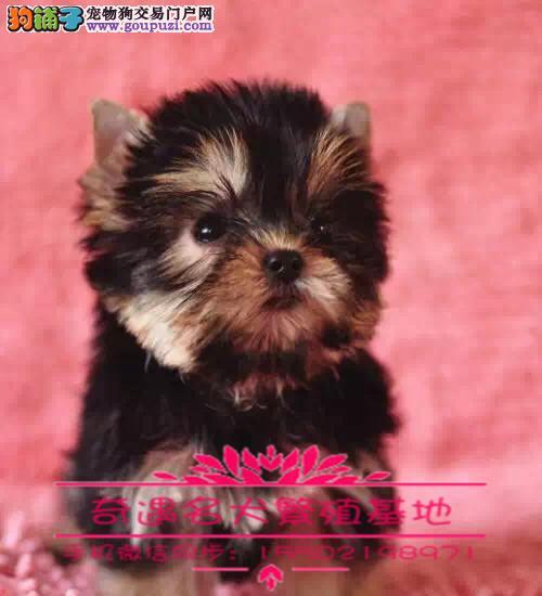 高贵纯种约克夏幼犬出售健康质保疫苗齐全公母可选%