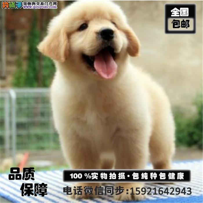 基地直销纯种金毛犬 健康终身保障 签协议 送狗用品