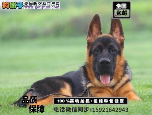 纯种大头锤系德国牧羊犬 公母均有 可接受预定欢迎购买