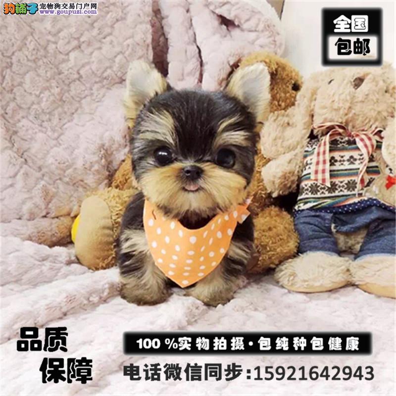 高品质小体金头银背约克夏幼犬宝宝出售 送用品 包邮