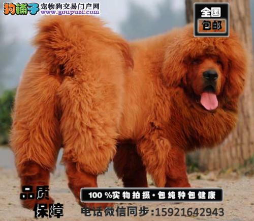 超大型的藏獒幼犬出售 品相完美 气势磅礴血统纯正