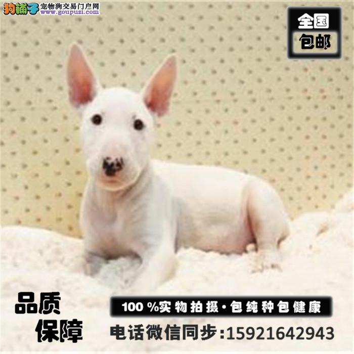聪明忠诚的牛头梗幼犬出售包健康 欢迎来电咨询选购