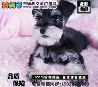 能看懂您眼神 读懂您心的纯种雪纳瑞幼犬出售 送用品