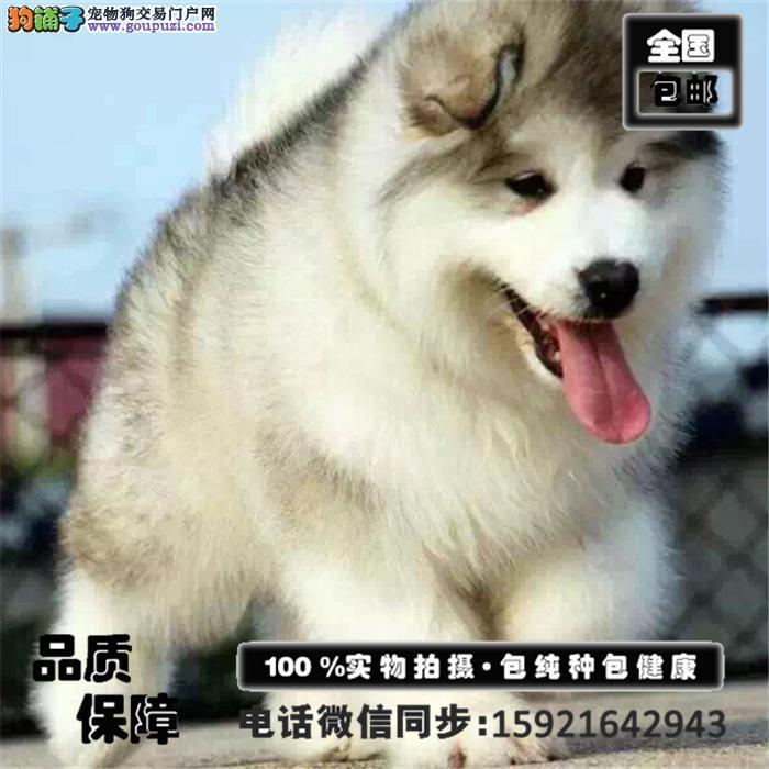 优秀品质阿拉斯加雪橇犬犬舍出售、公母全有、包健康