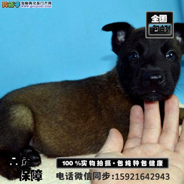 精品马犬幼犬一对一服务买着放心真实照片包纯 送用品