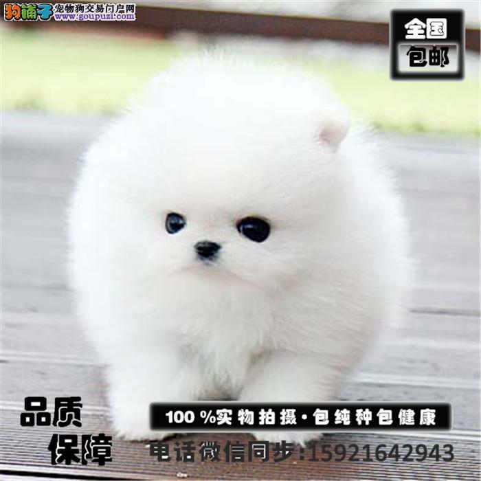 出售纯种哈多利博美犬 博美俊介品质有保证全国发货