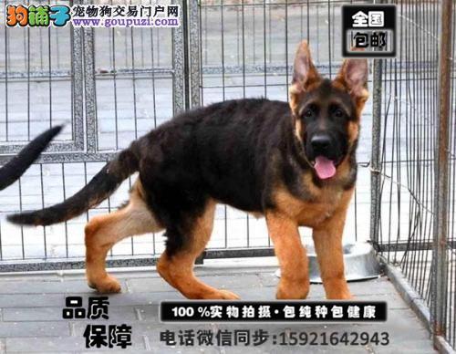 出售纯种德国牧羊犬 欢迎来犬舍购买 大骨架 警犬品质