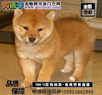 纯种极品柴犬超低价出售中 本地可送货上门 包养活