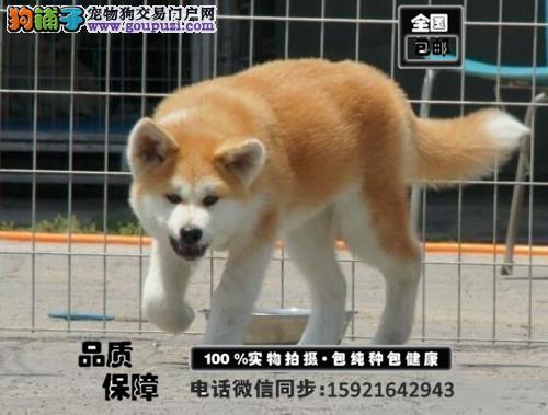 诚信出售 高品质血统纯正的秋田犬 签健康协议送用品