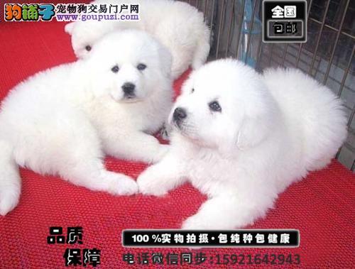 乖巧 可爱绝对纯种的大白熊宝宝出售 颜色齐全 送用品