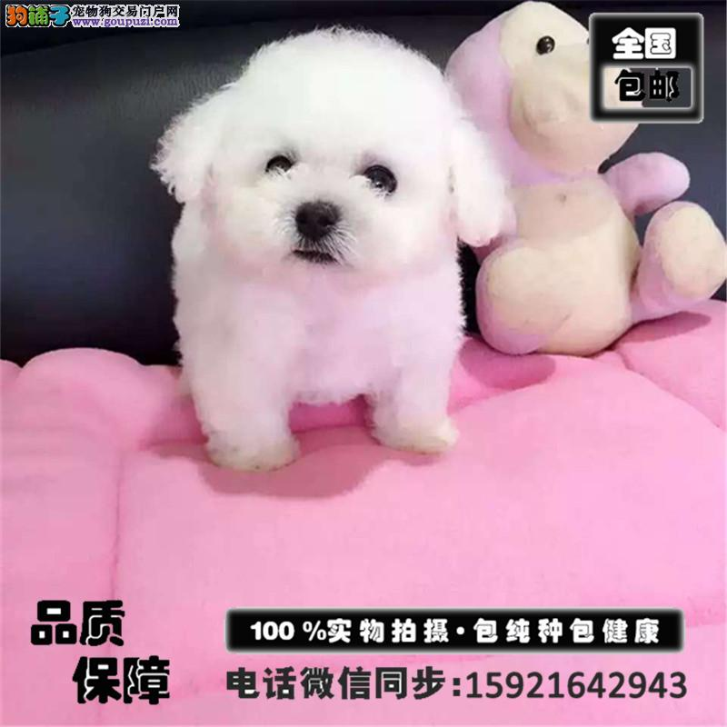 高端极品纯种泰迪幼犬宝宝 公母全有 欢迎致电咨询