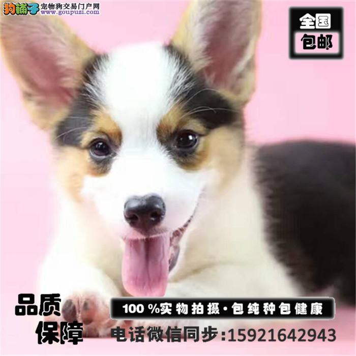 出售聪明伶柯基幼犬极品相极佳带血统证书签活体协议
