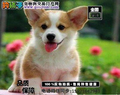 极品柯基犬出售 花色很对称 小狗很活泼可视频挑选