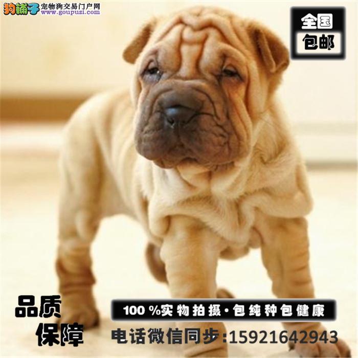 出售沙皮狗幼犬 血统纯正带证书签协议 包养活送用品
