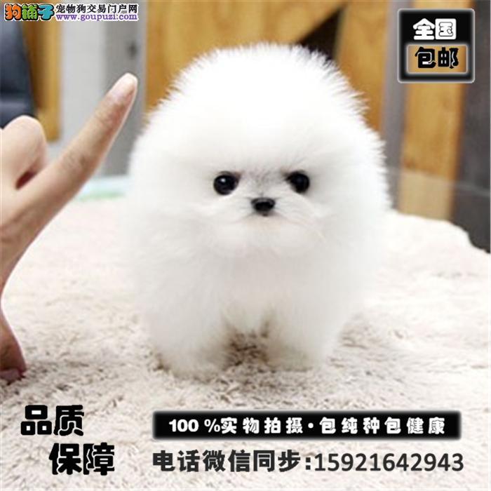 超萌博美幼犬出售,颜色齐全,签协议,包养活送用品