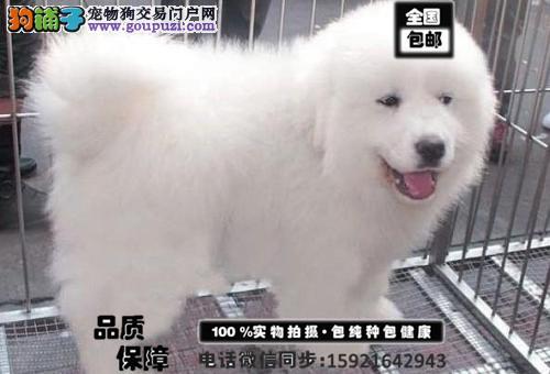纯种大白熊幼犬出售、大骨骼、毛量足、签协议 包养活