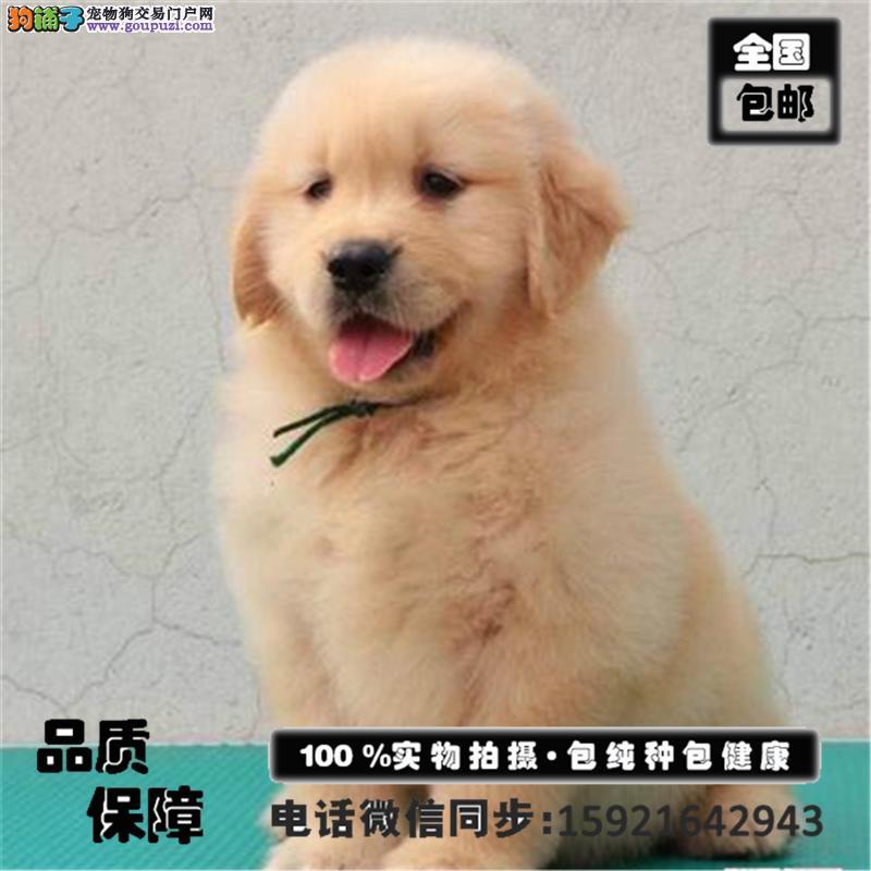 金毛 哈士奇 萨摩耶出售/签保障协议包养活买狗送用品