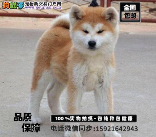 聪明忠诚的纯秋田犬幼犬疫苗齐全 血统健康有保障