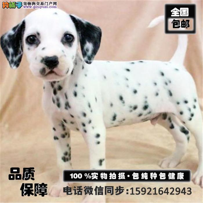 出售福斑点狗专业缔造完美品质赠送全套宠物用品
