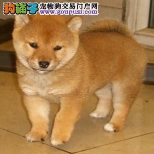 高品质日系柴犬幼犬出售了 保纯种保健康 签质保协议