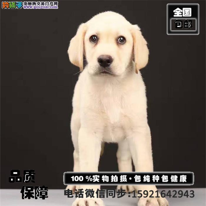 纯种拉不拉多犬出售 疫苗证书齐全 签订购犬协议