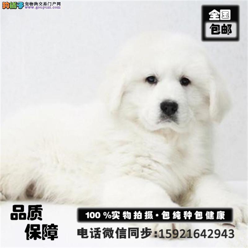 高品质大白熊幼犬,保证纯种健康,可见成犬欢迎选购