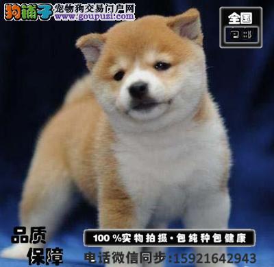 极品日系柴犬幼犬出售 包纯种 包健康 买狗送用品狗粮