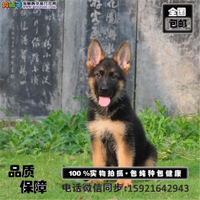 极品黑背弓腰骨骼强壮的德国牧羊犬出售 保障品质售后