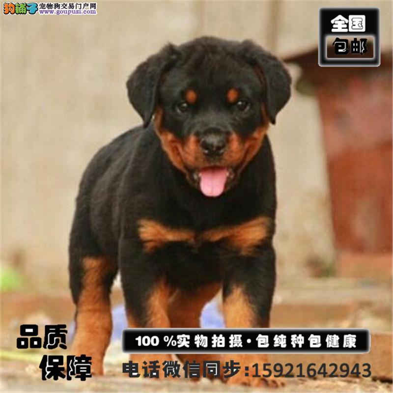 极品罗威纳出售、精心繁育品质优良、购犬签保障协议