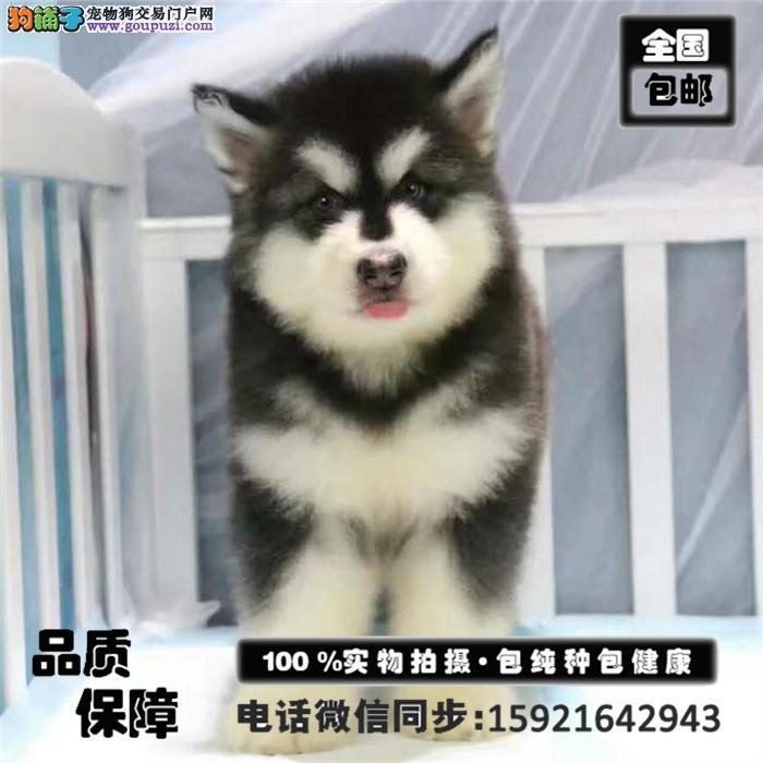 十字脸阿拉斯加犬优惠出售 欢迎上门挑选 颜色齐全